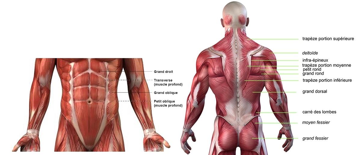 rameur muscle travail corps abdo dos