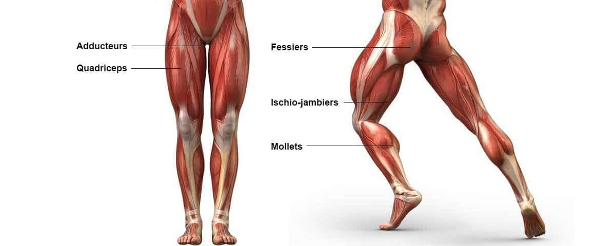 rameur muscle jambes aducteur fessier mollets